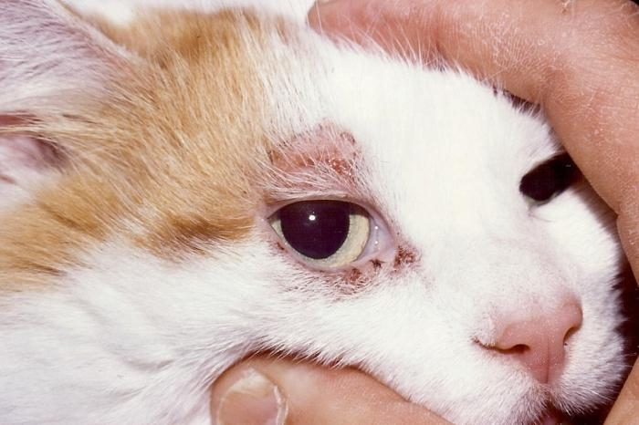 Подкожный клещ у котов лечение в домашних условиях