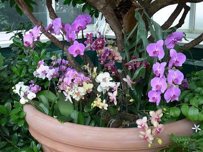 phalaenopsis mix care