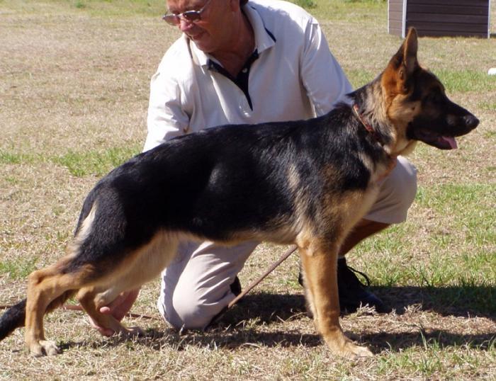 Как дрессировать щенка овчарки в домашних условиях