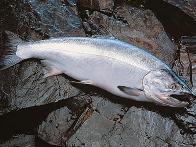 Рецепты запекания красной рыбы