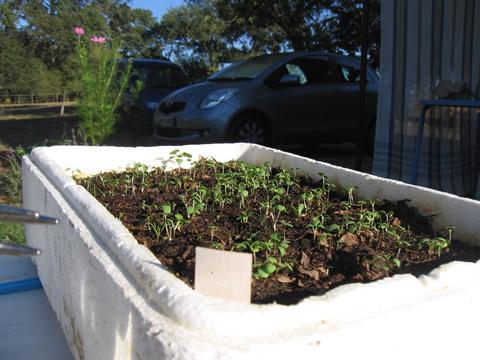 Когда сеять помидоры и перец на рассаду  Сайт про дачу