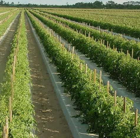 благоприятные дни для посева томатов