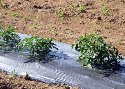 благоприятные дни для посева помидор