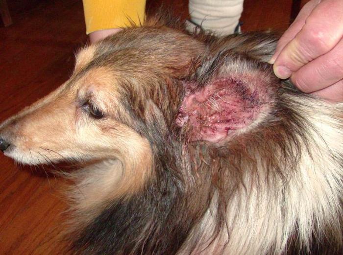 ушной клещ у собак признаки фото