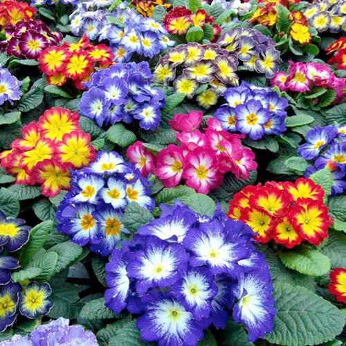 герань цветы уход в домашних условиях фото