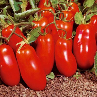 высокоурожайные томаты