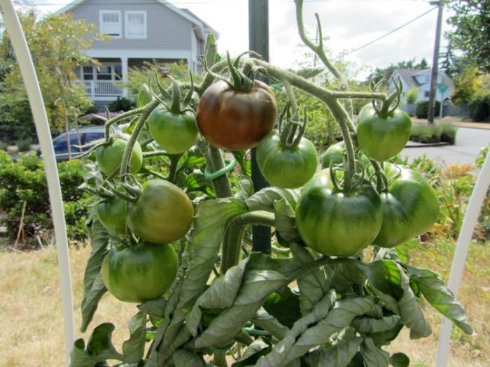 Выращивание помидор черный принц 77