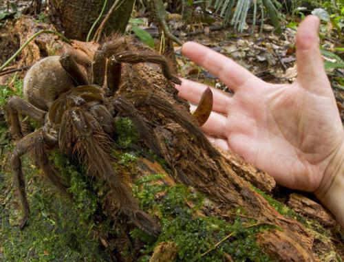 the largest spider