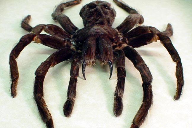 the biggest spider