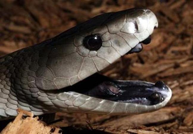 Змея мамба описание черная