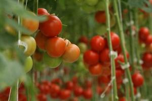 tomatoes - growing in a greenhouse