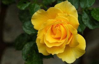 Rose freesia