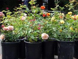 indoor plants rose