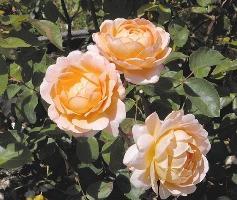 rose houseplant