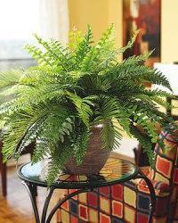 indoor plants fern