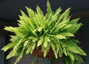 indoor ferns