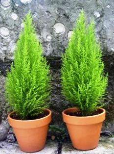 Кипарис комнатный - хвойное растение для дома