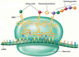 protein biosynthesis in the cell