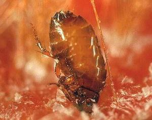 fleas in the apartment