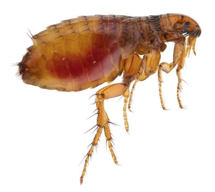 fleas in the apartment how to get rid