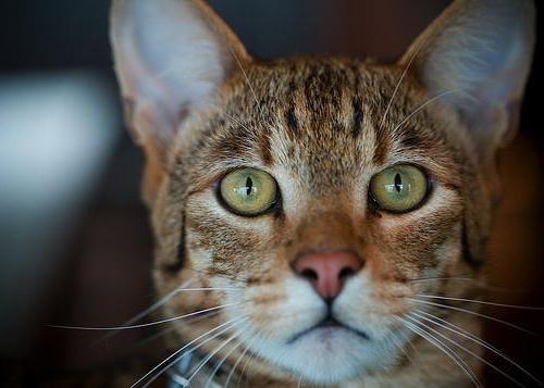 Asher cat