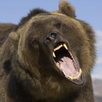 dangerous grizzly
