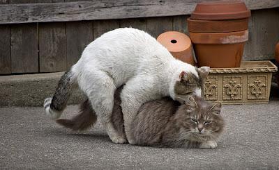 первая течка у кошек