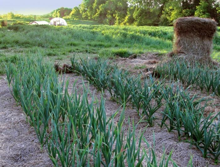 Growing winter garlic