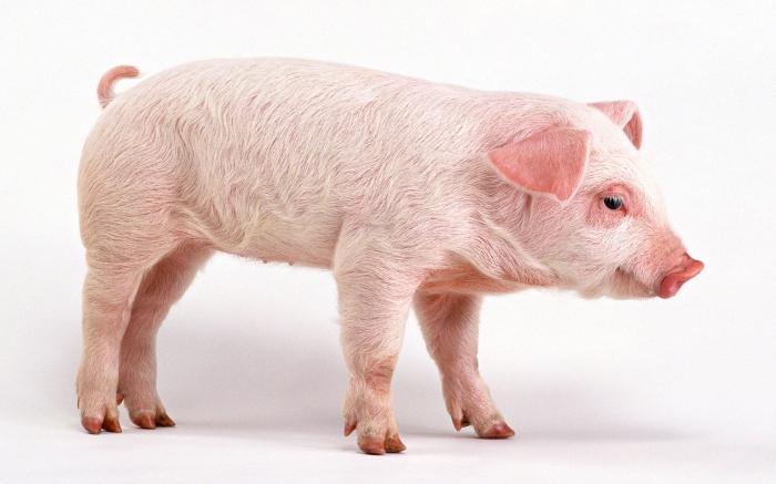 Why dream pig