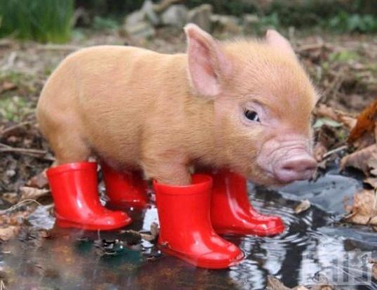 What dreams of pork