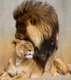 Сексуальная львица