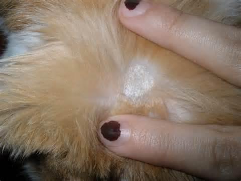 фото как выглядит лишай у котов