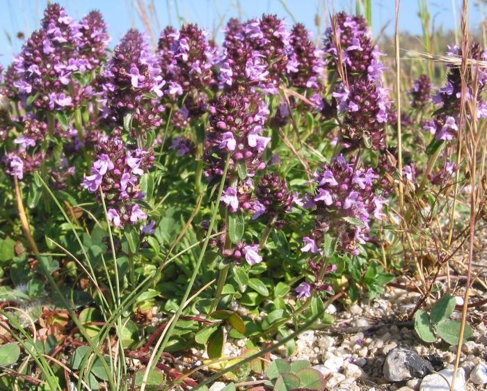 Чабрец - полезные свойства и противопоказания травы. Польза чабреца для женщин и мужчин