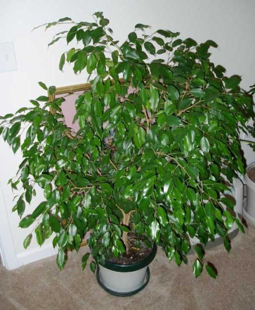 Фикус Бенджамина – идеальное растение для любого интерьера ...