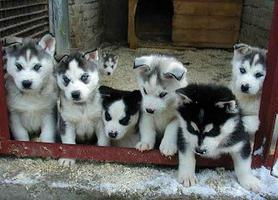 how much is the husky