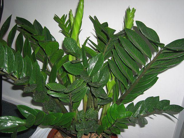 Вечнозеленое растение замиокулькас
