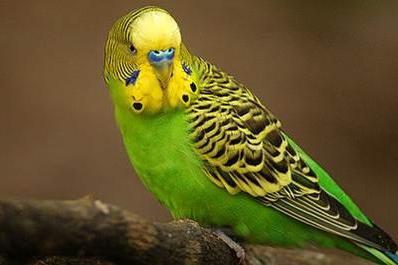 Через какое время попугай начинает говорить