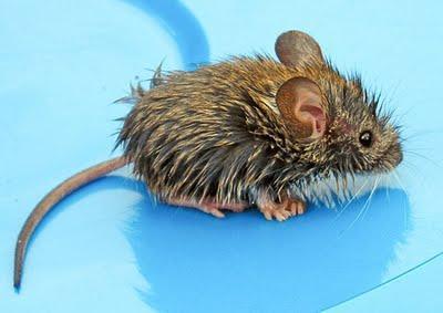 К чему снятся мыши и крысы картинки