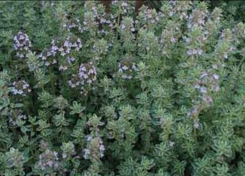 thyme beneficial properties