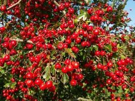 hawthorn useful properties