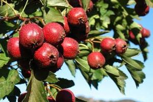 hawthorn fruit useful properties