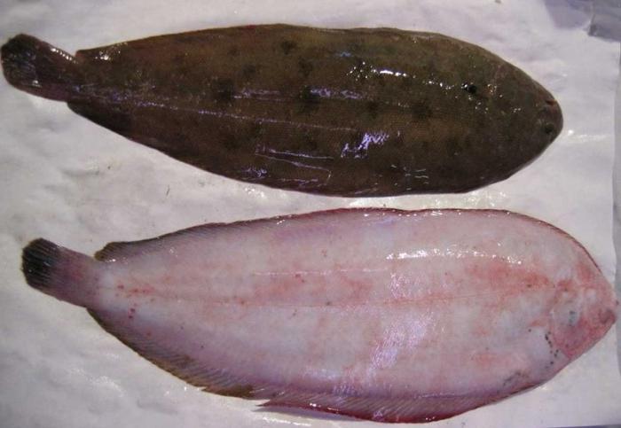 как выглядит морской толстолобик