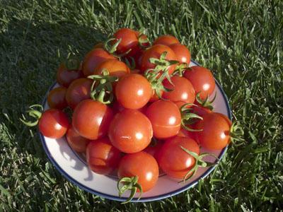 Выращивание детерминантных помидор - формирование и 60
