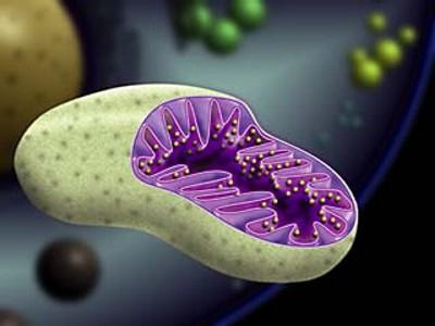 mitochondrial function
