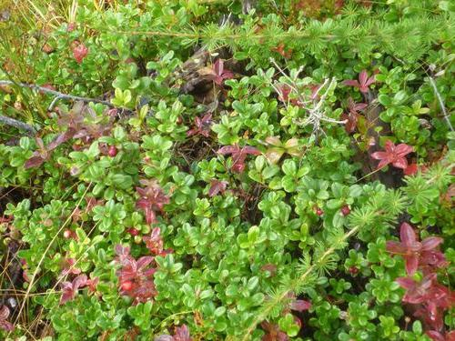 cowberry leaves