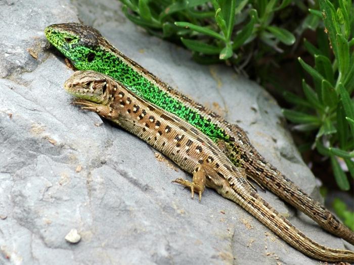 ящерица прыткая фото и описание небольшой, светлой цветовой