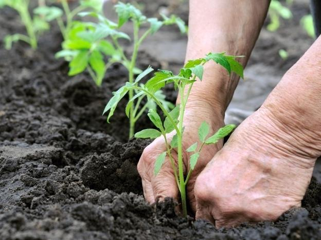 how to sow tomatoes