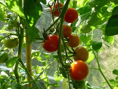 Early tomato varieties for greenhouses