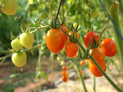 Crop varieties of tomatoes for greenhouses