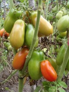 Томат  Петруша-огородник – особенности сорта и агротехники выращивания